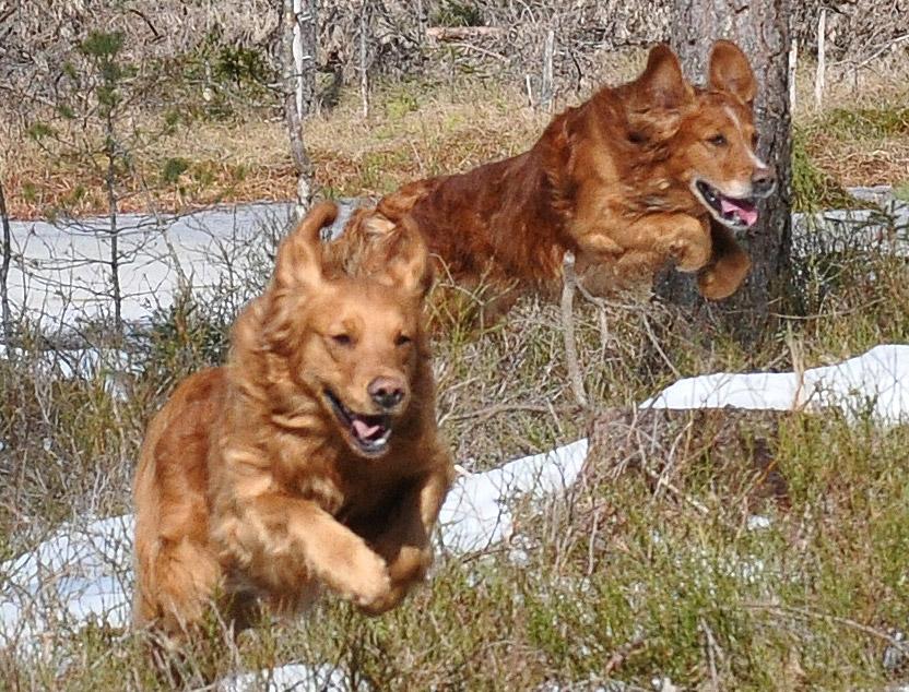 """Fokus på stadga för """"taggade"""" hundar nkl nivå"""